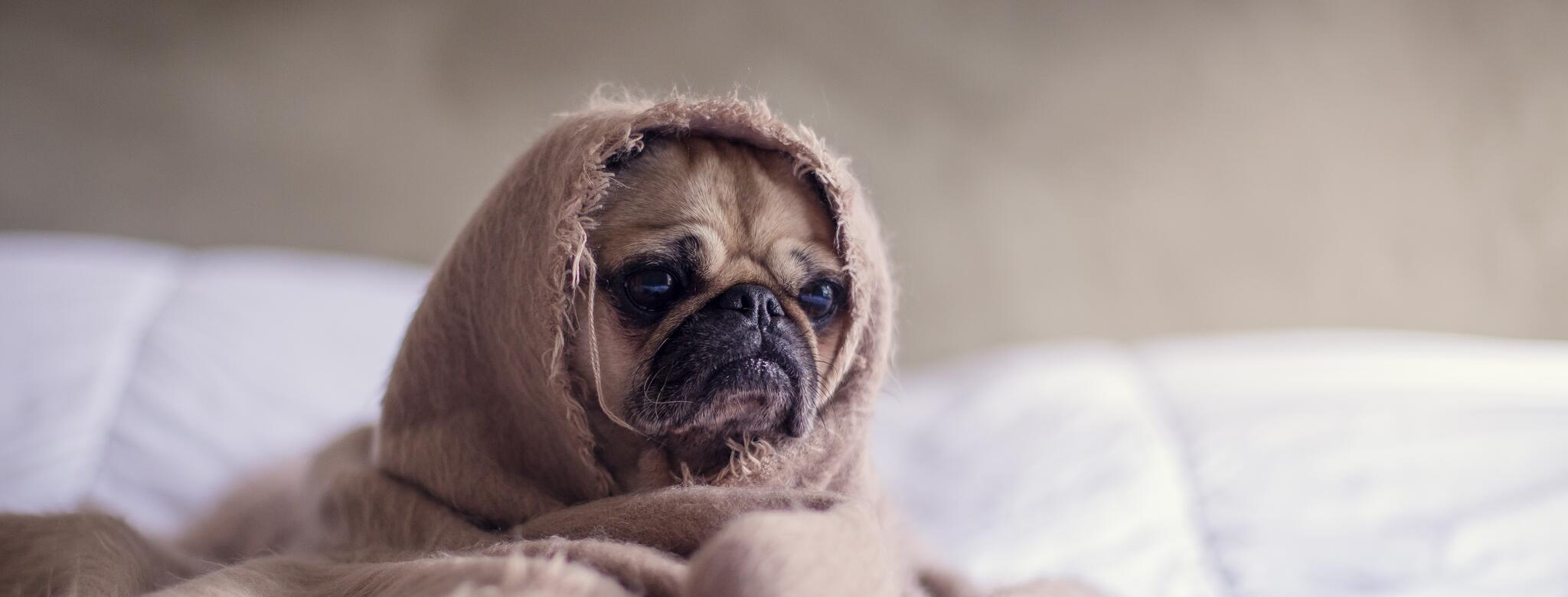 A stressed pug on a bed wrapped up in a blanket